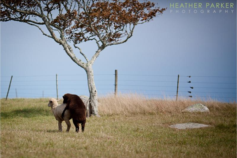 sheep farm wedding on an island